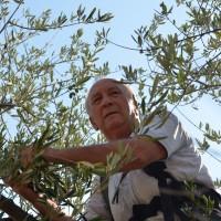 Vincenzo Lombardi demonstriert den apulischen Olivenbaumschnitt