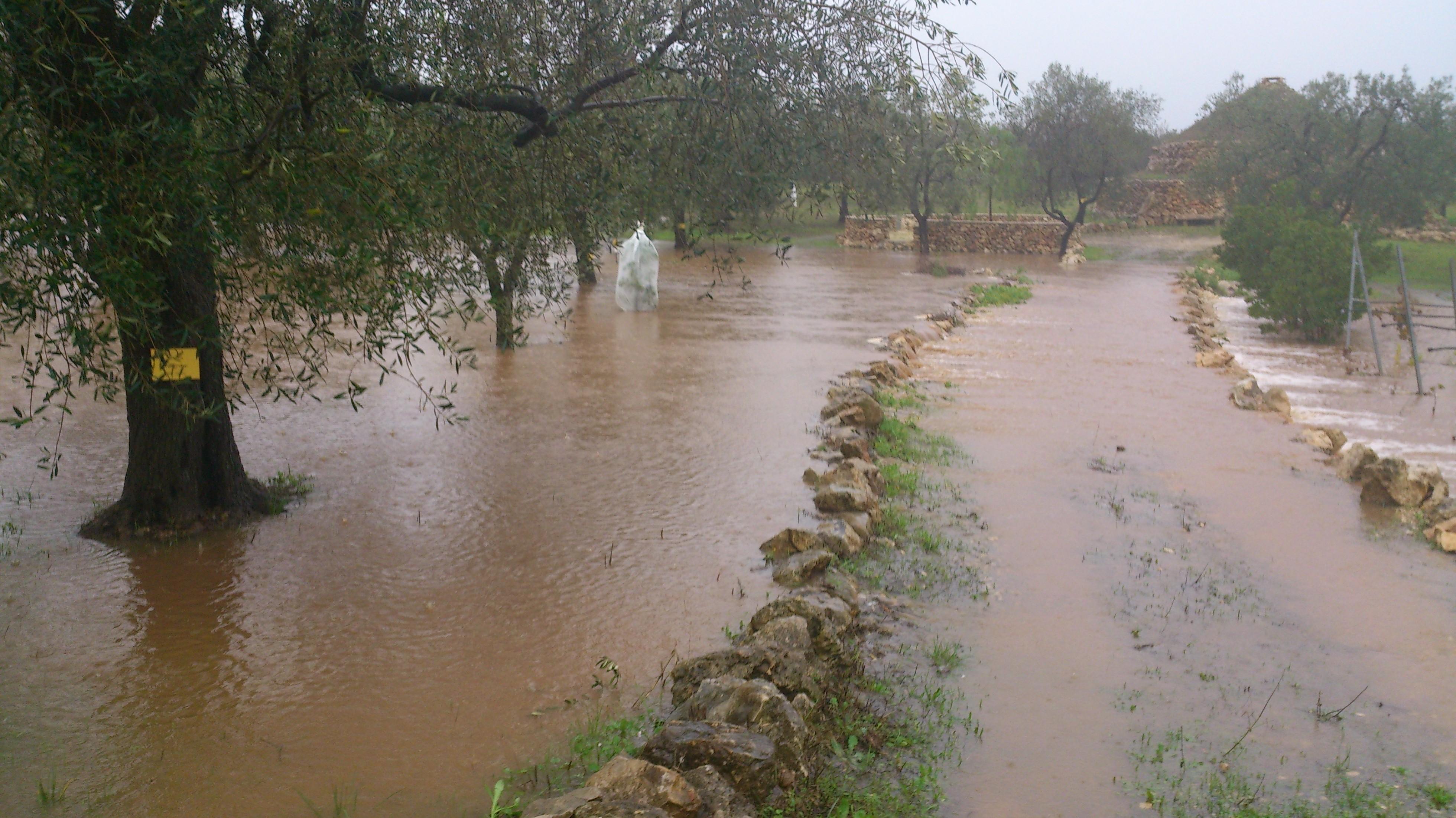 Unser Museumshain in Palombaio sah nach den Regenfällen in Apulien eher nach Reisfeld aus als nach Olivenhain.